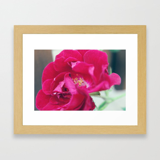 red semi plena rose