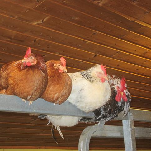 Hønene våre