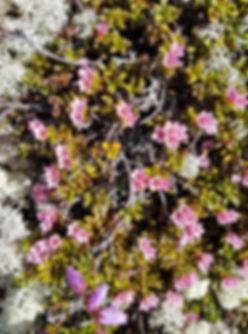 Blomster, rosa.jpg