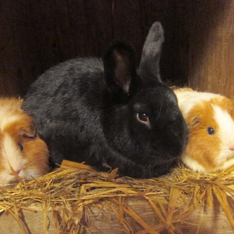 Marsvin og kanin i harmoni