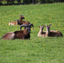 Mufloner på mark