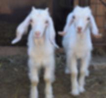 Pecore-LatteAmore.jpg