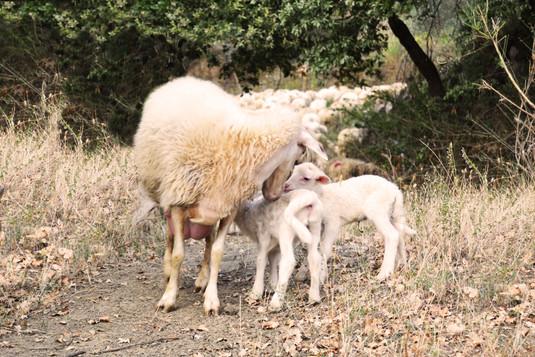 agnellini con mamma modif.jpg