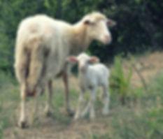Pecore Sarde LatteEtico