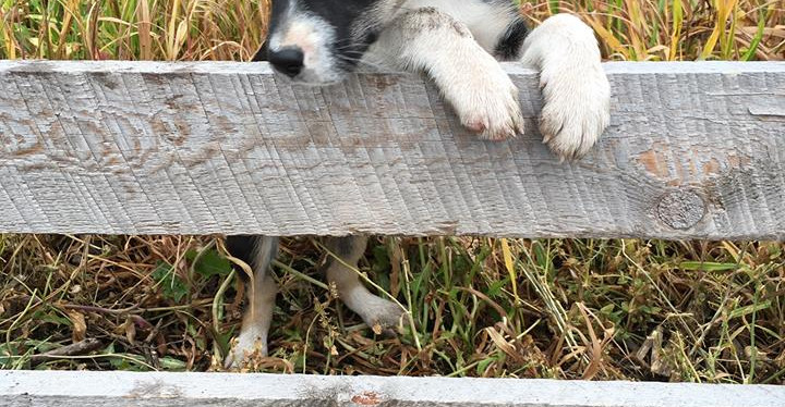 Midge as a puppy - now an agility star! Owned by Elain Berkoff in PA.