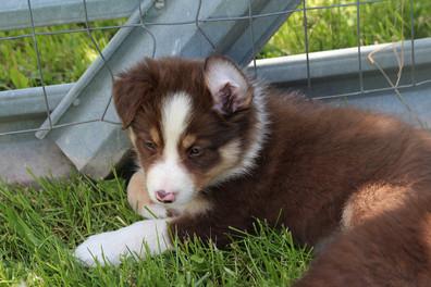 MFR Puppy