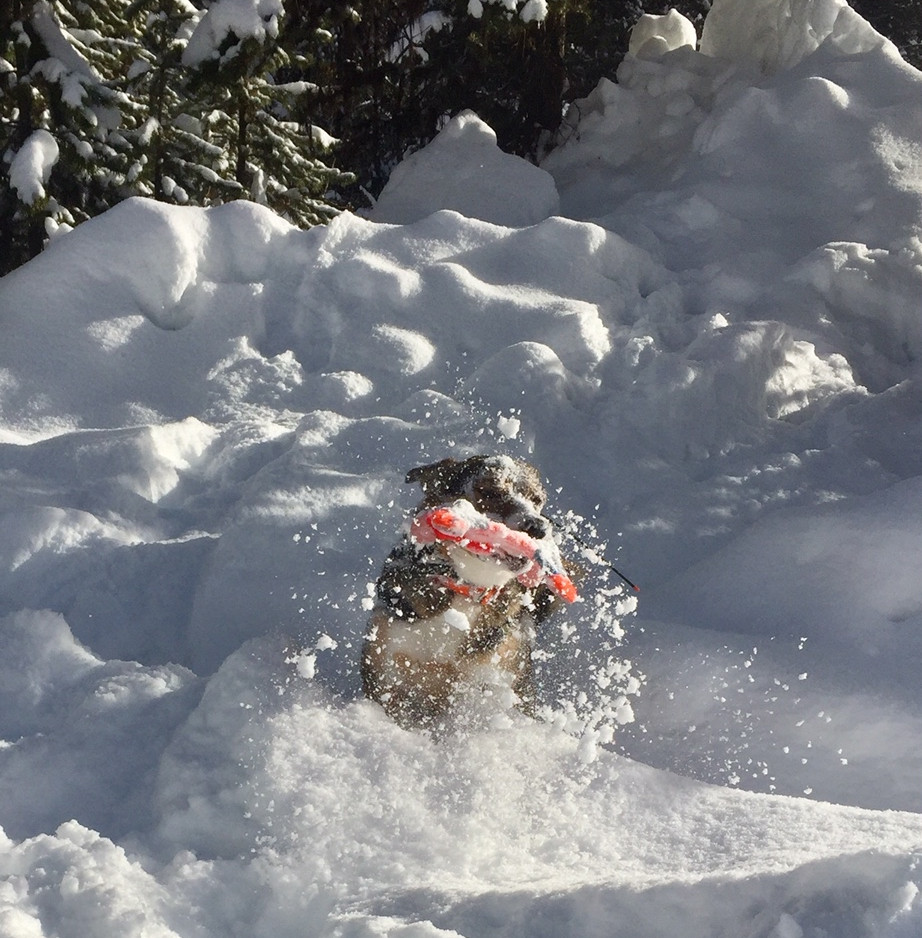 MFR Compass Rose (Oz x MFR Rose Red) - a certified search and rescue dog - working on avalanche skills. Owned by Tori Swan, McCall, ID.
