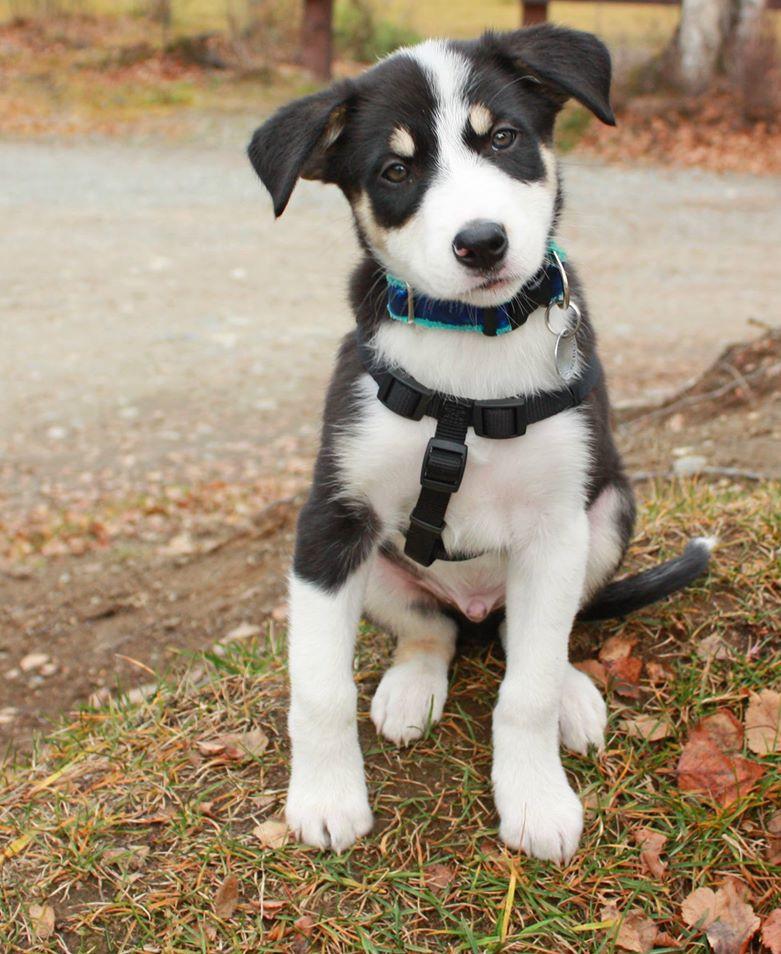 Dawson (Rhett x Zoey). Owned by Mary Hauge - Alaska. Currently working in agility.