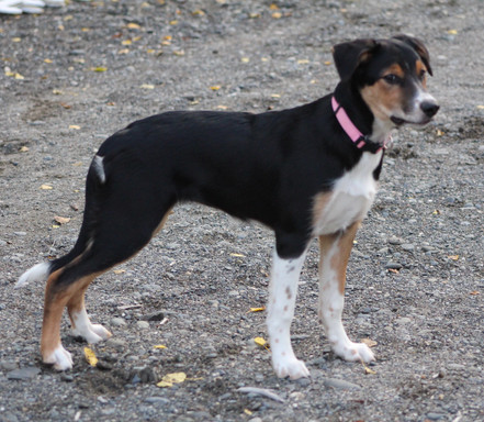 Clementine, proudly owned by Elaine Olson - Kenai, Alaska. She is in agility with Elaine.