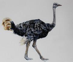 Ostrich, 2018