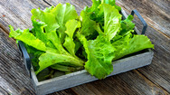E. coli outbreak: salad may be to blame