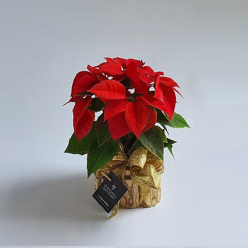 Flor Natal P