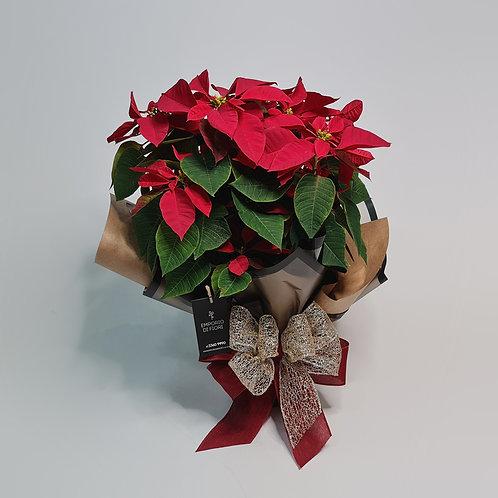 Flor Natal G