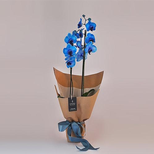 Orquídea Nice Blue