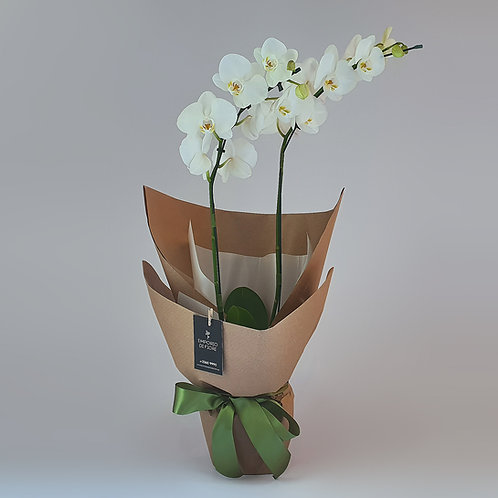 Orquídea Basic Branca