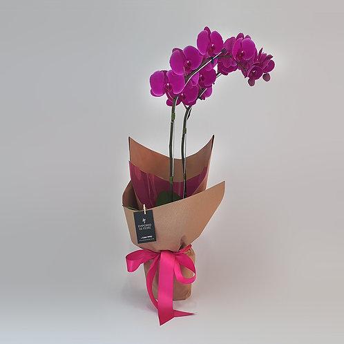Orquídea Basic Roxa