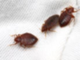 3-adult-bed-bugs.jpg