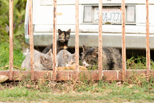 Provide food for a cat colony for one month