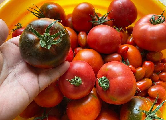 溫室黑柿番茄