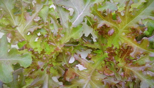 紅鹿角萵苣