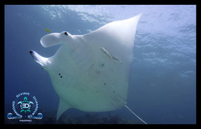 Manta Ray at House Reef