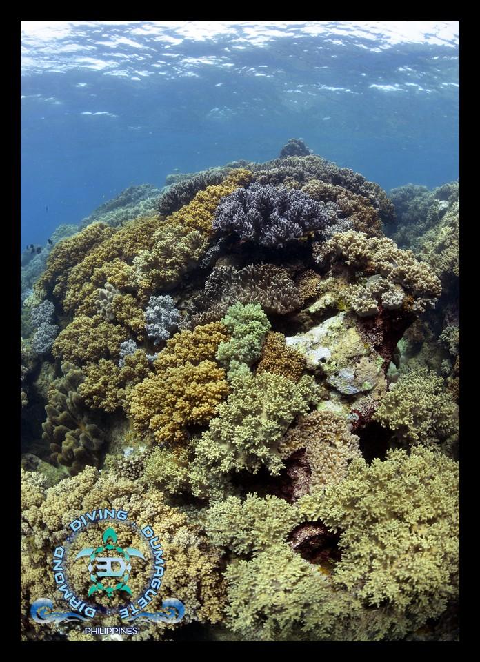 Apo Island, Scuba diving,