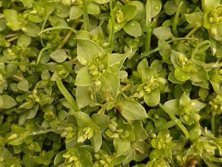 Discovering Chickweed and its Benefits