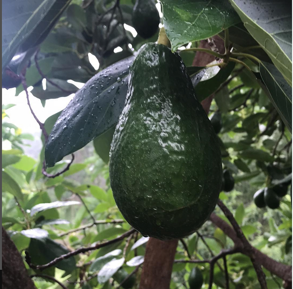 Dominican Green Skin Avocado Growing on a tree