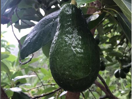Dominican Green Skin Season is Coming!