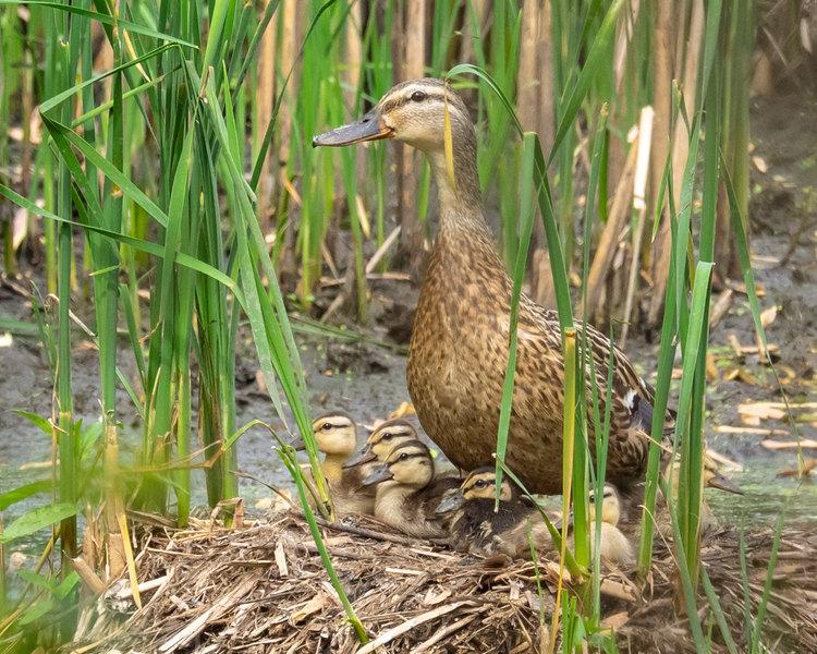 Ducklings & Their Mama