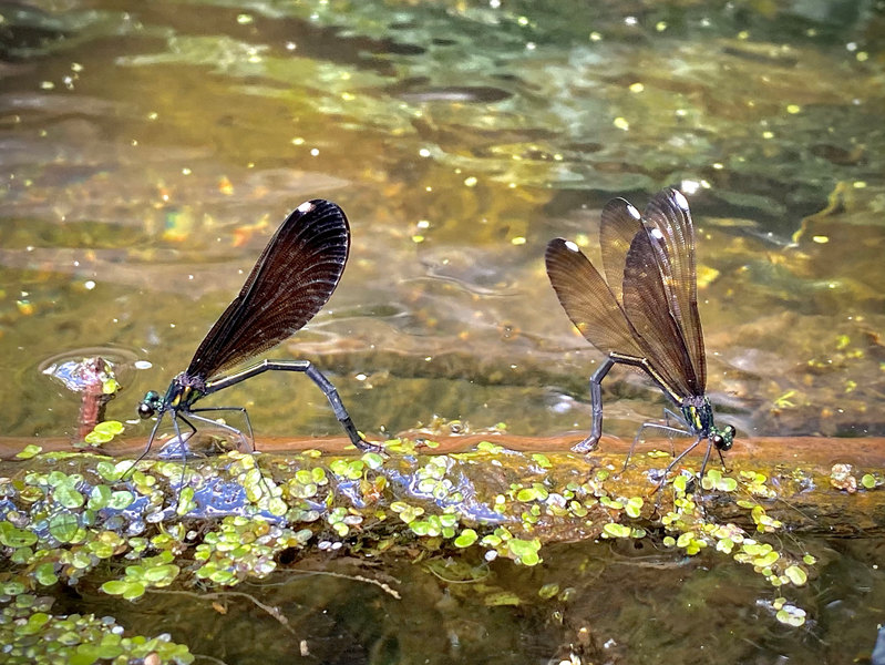 Dragonfly Pair