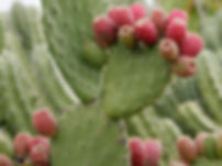 nopal is a food preventing gout