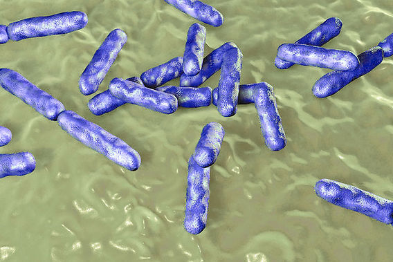 Microscapical photo of Bacteria Bifidobacterium