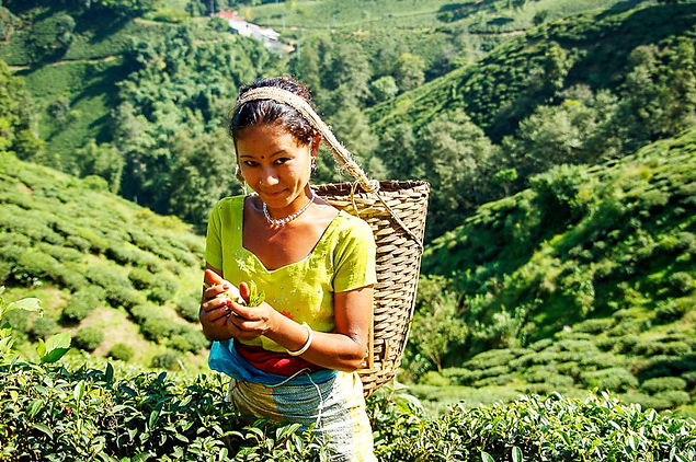 Photo showing a woman harvesting green tea.