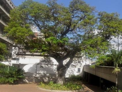 En contacto con la naturaleza: vamos a visitar los árboles emblemáticos de Caracas