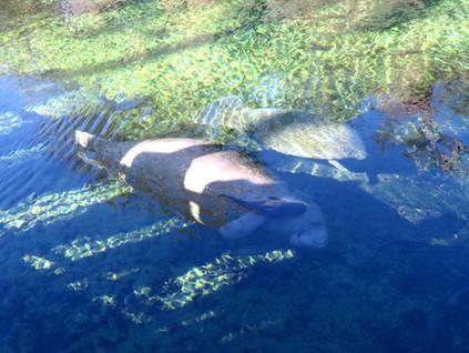 Los manatís también pasan el invierno en Florida: paseando por Blue Spring Park