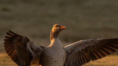 Audience with a Greylag
