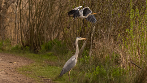 Heron Fly Past