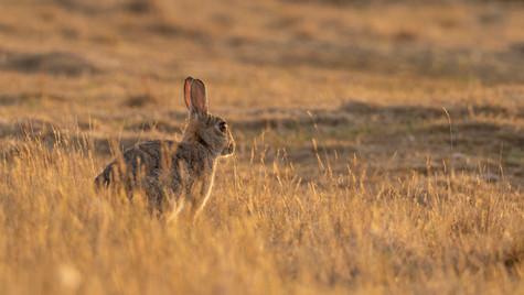 Cottontail Rabbit