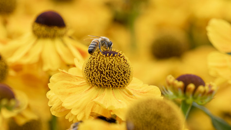Sneezeweed and a Bee