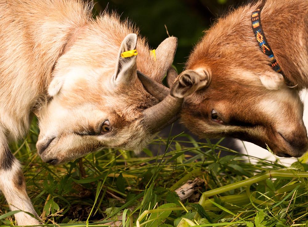 Der Artikel heißt: Neue Ordnung statt Hackordnung. Das Bild zeigt zwei kämpfende Ziegen.