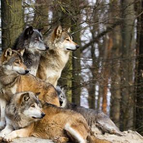 Vorbild Wolfsrudel – Was Unternehmen von den Tieren lernen können