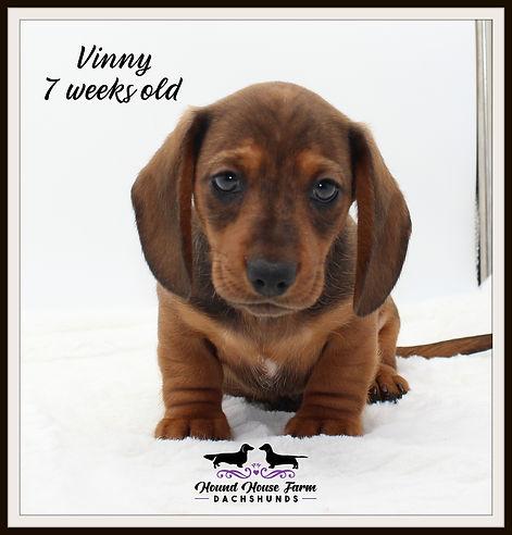 Viva's Vinny 7 weeks.JPG