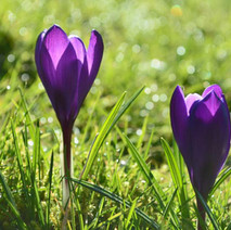 Crocuses popping up in Dalmuir Park, Spring is on the way.  -  1st March 2013