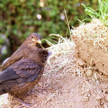 Birds in the garden. Low Crescent, Whitecrook, Clydebank 3rd June 1978