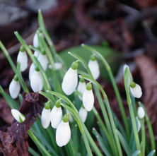 The snowdrops are starting to flower.  -   Dalmuir Park.  -  22nd January 2021