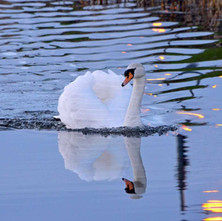 Swan on the Forth & Clyde Canal in the evening light. - 2nd February 2013