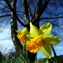 The Dalmuir Park daffodils are in bloom, summer is coming.  -  12th March 2019