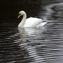 Swan on the duck pond. - 22nd march 2018