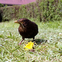 Another candid bird photo. Low Crescent, Whitecrook, Clydebank. 27th May 1978